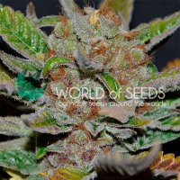 Bubba Haze Regular Cannabis Seeds