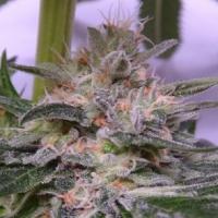 Bubba Hash Feminised Cannabis Seeds | Ace Seeds