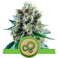 Bubble Kush Auto Feminised Cannabis Seeds | Royal Queen Seeds