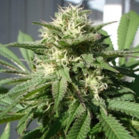 Bubble Bud Feminised Cannabis Seeds | Black Skull Seeds