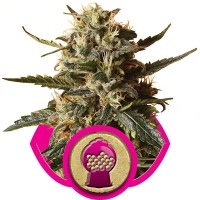 Bubblegum XL Feminised Cannabis Seeds | Royal Queen Seeds