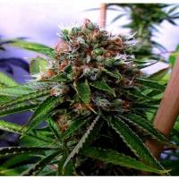 Buddha's Sister Feminised Cannabis Seeds | Soma Seeds
