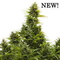 Medikit Auto Feminised Cannabis Seeds   Buddha Seeds