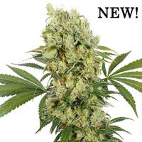 Medikit Feminised Cannabis Seeds   Buddha Seeds