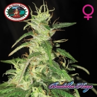 Big Buddha Seeds Buddha Haze Feminised Cannabis Seeds For Sale