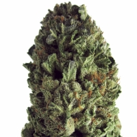Budzilla Feminised Cannabis Seeds | Heavyweight Seeds