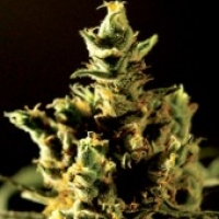 Bulldog Seeds The Bulldog Haze Cannabis Seeds