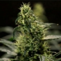 Energy Haze Feminised Cannabis Seeds | Bulldog Seeds