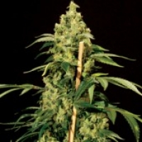 Jack Herer Feminised Cannabis Seeds | Bulldog Seeds