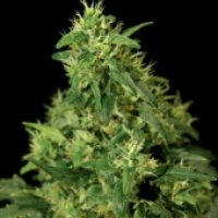 Northern Light Feminised Cannabis Seeds | Bulldog Seeds