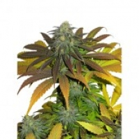 Californian Orange Feminised Cannabis Seeds | Dutch Passion