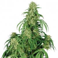 Calamity Jane Auto Feminised Cannabis Seeds   Buddha Seeds