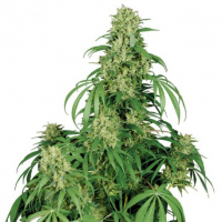 Calamity Jane Auto Feminised Cannabis Seeds | Buddha Seeds