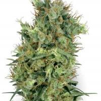 California Orange Bud Regular Cannabis Seeds | White Label Seed Company
