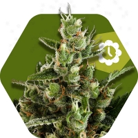 Candy Caramelo Auto Feminised Cannabis Seeds | Zambeza Seeds