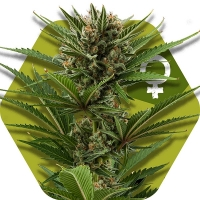 Candy Caramelo Fast Version Feminised Cannabis Seeds | Zambeza Seeds