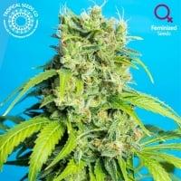 Heaven's Gate Feminised Cannabis Seeds   Tropical Seeds