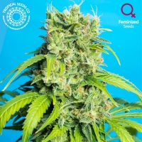 Heaven's Gate Feminised Cannabis Seeds | Tropical Seeds