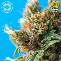 Durban Punch Regular Cannabis Seeds | Tropical Seeds