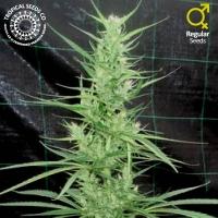 Zambian Regular Cannabis Seeds | Tropical Seeds
