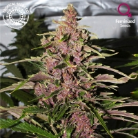 Afro Kush Feminised Cannabis Seeds | Tropical Seeds