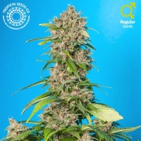 Smooth Smoke Regular Cannabis Seeds | Tropical Seeds