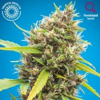 Durbakistan Feminised Cannabis Seeds | Tropical Seeds