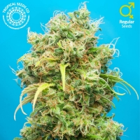 Ciskei Regular Cannabis Seeds | Tropical Seeds