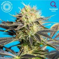 Dandy Dance Feminised Cannabis Seeds   Tropical Seeds