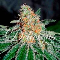 CBD Jam Feminised Cannabis Seeds | Delicious Seeds