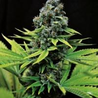 CBD Shark Shock Feminised Cannabis Seeds | Seedsman