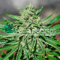 CBD Tonic Feminised Cannabis Seeds | World of Seeds