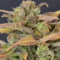 CBD Auto Critical Cannabis Seeds