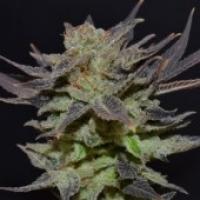 Lavender Feminised Cannabis Seeds | CBD Seeds Classic Line
