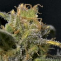 CBS Seeds Auto Northern Cannabis Seeds