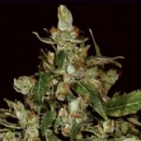 CBS Seeds Auto Widow Cannabis Seeds
