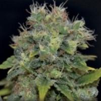 Auto Yumbolt Feminised Cannabis Seeds | CBD Seeds Auto Flowering Line