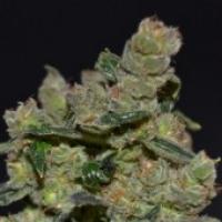 Diesel Feminised Cannabis Seeds | CBD Seeds Classic Line