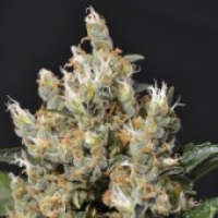 Kali Feminised Cannabis Seeds | CBD Seeds Classic Line