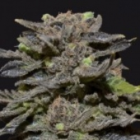 CBD Seeds Magma Cannabis Seeds