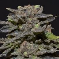 Magma Feminised Cannabis Seeds |  CBD Seeds Medical Line