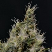 Vanilla Haze Feminised Cannabis Seed | CBD Seeds Medical Line