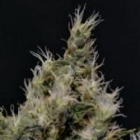 Vanilla Haze Feminised Cannabis Seed | CBD Seeds Medical Line