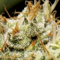 CBD Seeds Yumbolt Cannabis Seeds