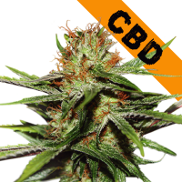 CBD Crtical XXL Feminised Cannabis Seeds | Seed Stockers