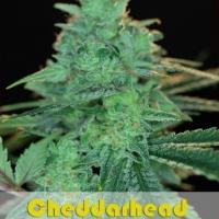 Buy Alphakronik Genes Cheddarhead Regular Cannabis Seeds