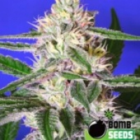 Bomb Seeds Cheese Bomb Feminised Cannabis Seeds For Sale