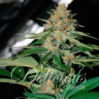 Delicious Candy (Formerly Cheese Candy) Regular Cannabis Seeds | Delicious Seeds
