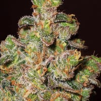 Cheese Feminised Cannabis Seeds | Expert Seeds