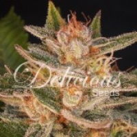 Delicious Candy# (Formerly Cheese Candy) Feminised Cannabis Seeds   Delicious Seeds